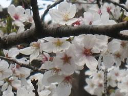 千鳥ヶ淵の桜 アップ