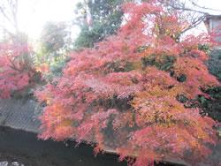 滑川沿いに咲く紅葉
