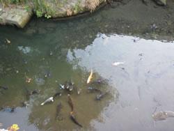 滑川を泳ぐ鯉の群れ