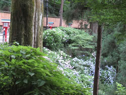 薬王院への道沿いに咲いていたアジサイの群集